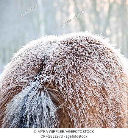 Icy winter coat on an Icelandic horse