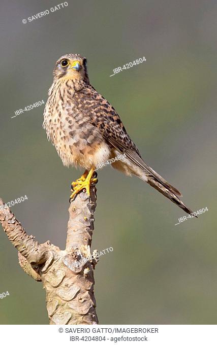 Neglected Kestrel (Falco tinnunculus neglectus), perched on a branch, Sao Nicolau, Cape Verde