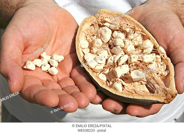 Baobab fruit and seeds (Adansonia digitata)
