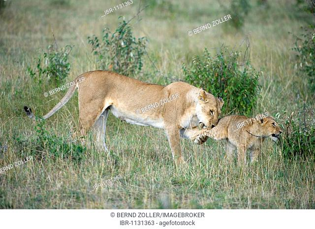 Lion (Panthera leo), lioness playing with cubs, Masai Mara National Reserve, Kenya, East Africa