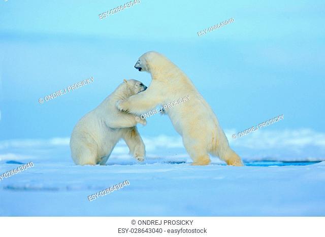 Two polar bear