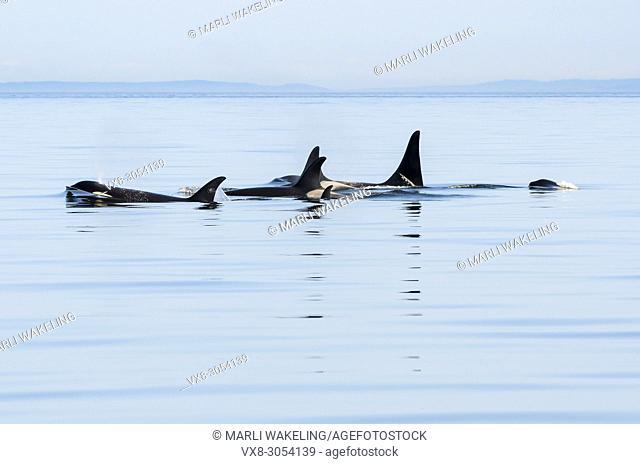 Several generations of Salish Sea Southern Resident orcas, Orca orcinus,J-Pod, Hy'Shqa (J 37), Eclipse (J 41) Nova (J 51), Granny (J-2), Onyx (L-87)