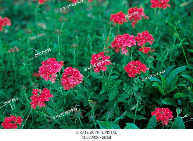 Red hybrid verbenas