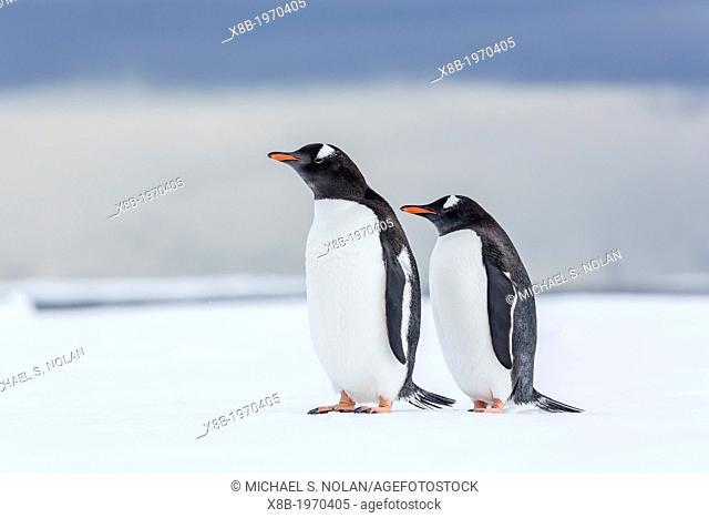 Adult gentoo penguins (Pygoscelis papua) on ice in the Enterprise Islands, Antarctica, Southern Ocean