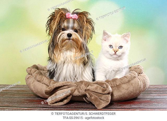 Biewer Terrier and British Shorthair Kitten