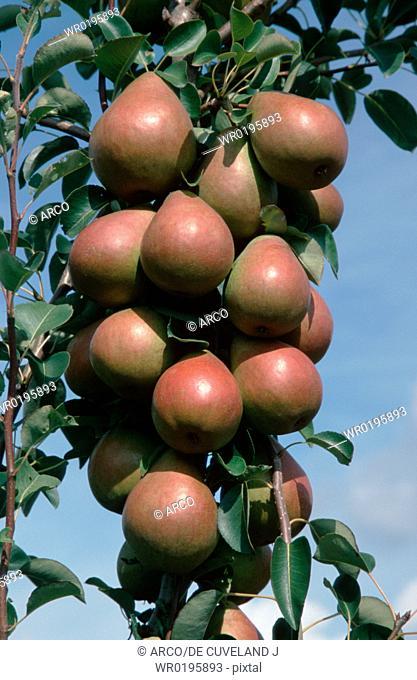 Pears, on, tree, Lower, Saxony, Germany, Pyrus, x, domestica