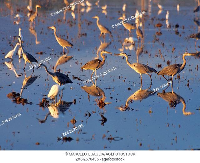Purple Herons (Ardea purpurea) at flooded rice fields after harvest. Ebro River Delta Natural Park. Tarragona province, Catalonia, Spain