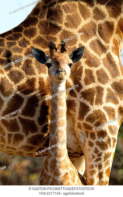 Giraffe (giraffa camelopardalis) - Young, with its mother, Kruger National Park, South Africa