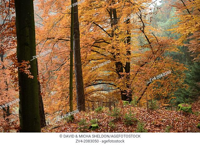 Landscape of a European beech or common beech Fagus sylvatica forest in autumn, Upper Palatinate, Bavaria, Germany
