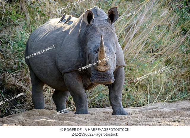 White rhinoceros or square-lipped rhinoceros or rhino (Ceratotherium simum) and red-billed oxpecker (Buphagus erythrorhynchus). Kruger National Park