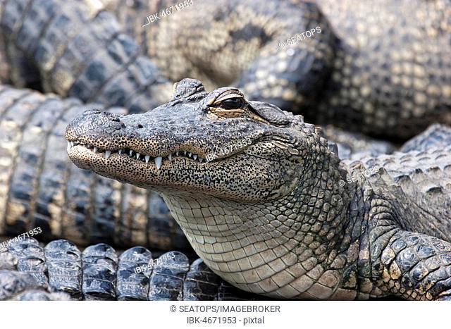 American alligators (Alligator mississippiensis), young animal, Everglades, Florida, USA