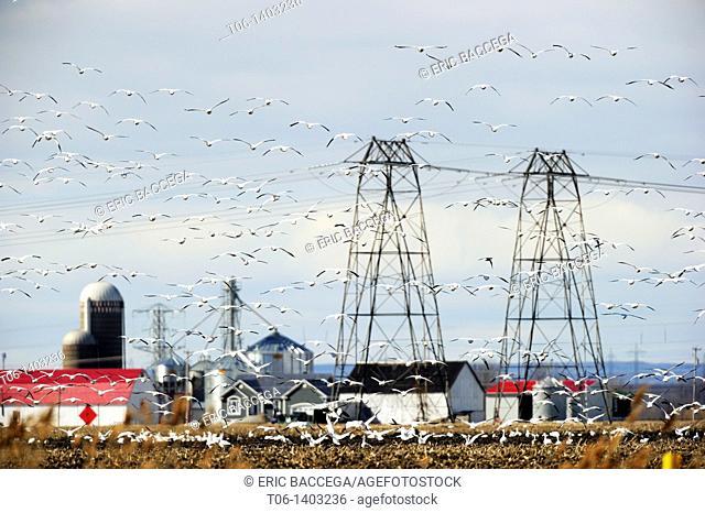 Large flock of snow goose in flight Chen Caerulescens around electric pylon  Quebec, Canada