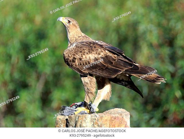 Female Bonelli's eagle (Aquila fasciata) with prey, Parque Nacional de Monfrague. Extremadura. Spain