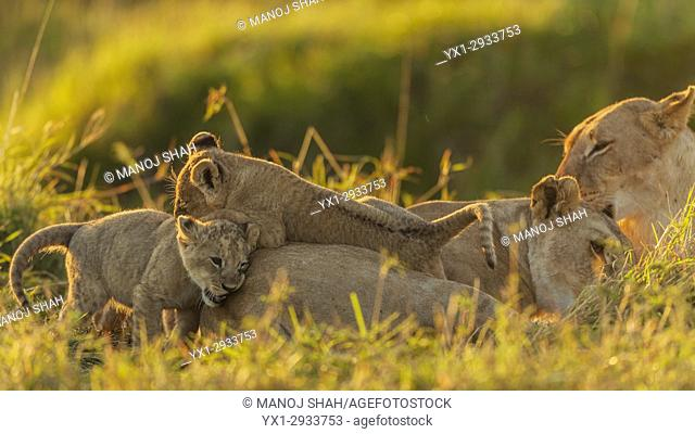 The returning lioness is groomed and greeted with joy by a lioness and her three cubs. Masai Mara National Reserve, Kenya