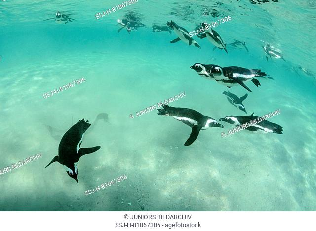 African Penguin (Spheniscus demersus). Group hunting under water. Boulders Beach, South Africa