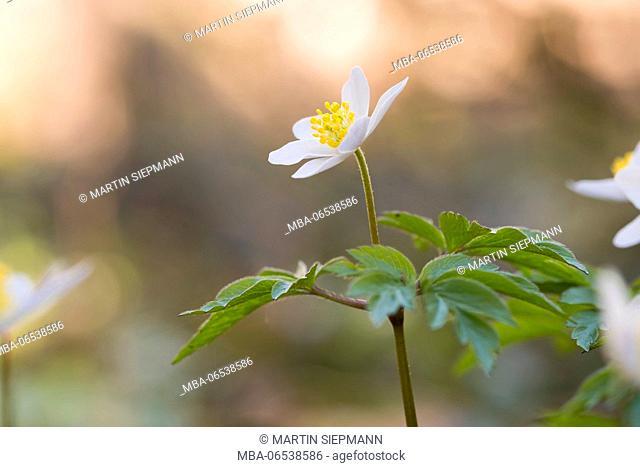Wood anemones (anemone nemorosa), Upper Bavaria, Bavaria, Germany