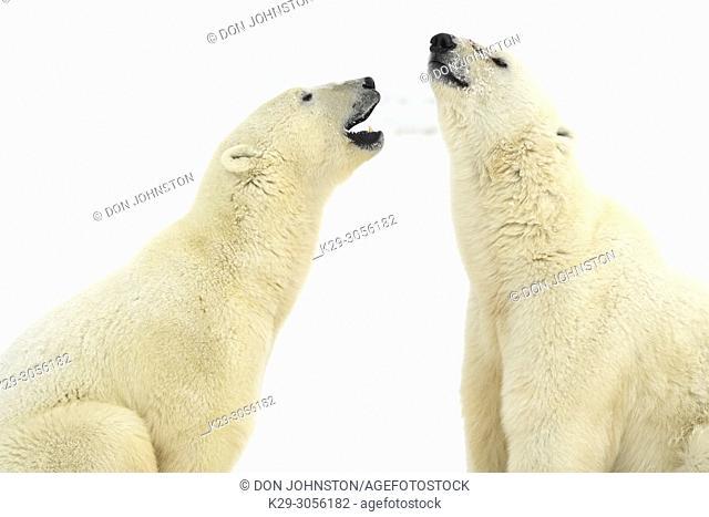 Polar Bear (Ursus maritimus) Interaction and sparring, Churchill Wildlife Management area, Churchill, Manitoba, Canada