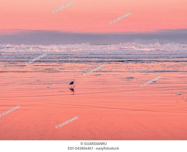 Bird walking on the wet sand of Manzanita Beach in Northern Oregon at colorful sunrise. Pink skies reflecting on the sand