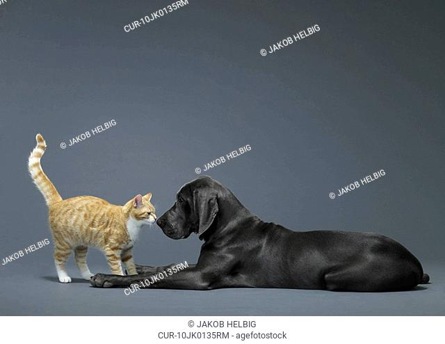 Cat and dog touching noses