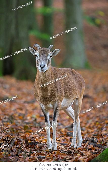 European mouflon (Ovis gmelini musimon / Ovis ammon / Ovis orientalis musimon) young ram with little horns in forest in autumn