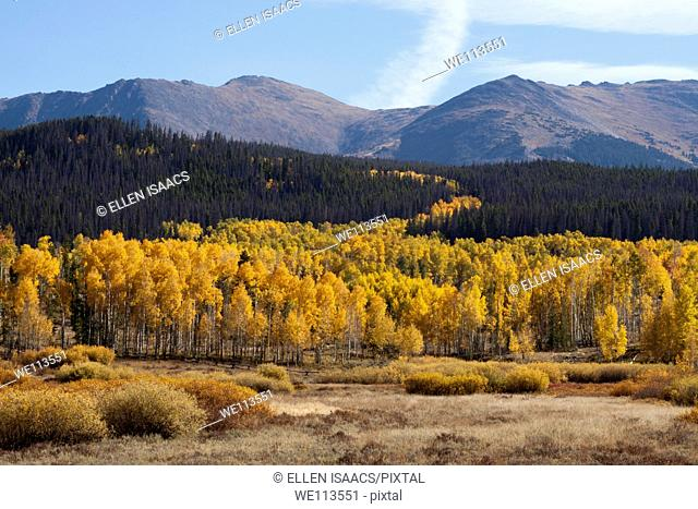 Grove of yellow aspens growing from a meadow into a hillside of evergreen trees in Rocky Mountains in Colorado