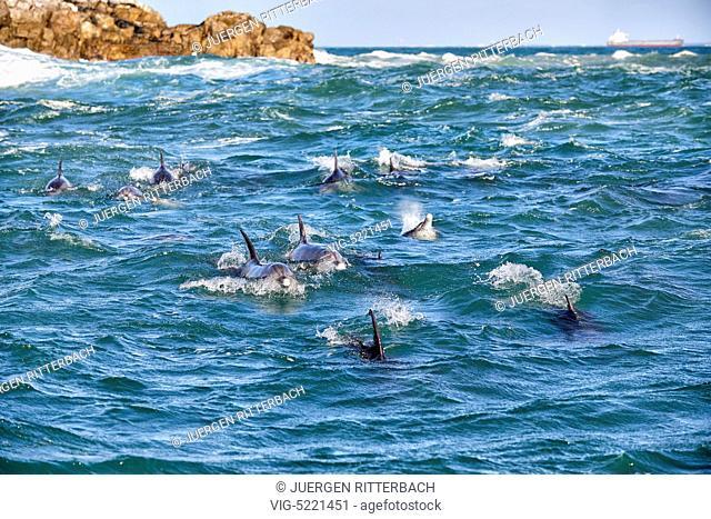 herd of hunting bottlenose dolphin (Tursiops truncatus), Eastern Cape, South Africa - Port Elizabeth, Eastern Cape, South Africa, 20/07/2014