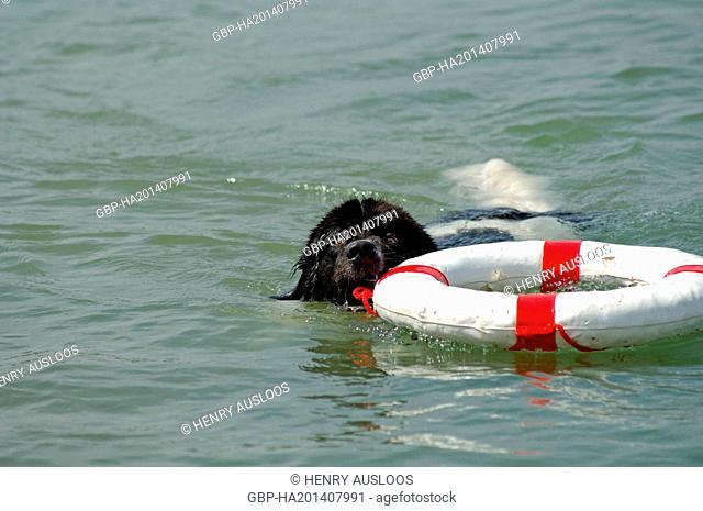 Dog, Canis familiaris, Newfoundland, swimming