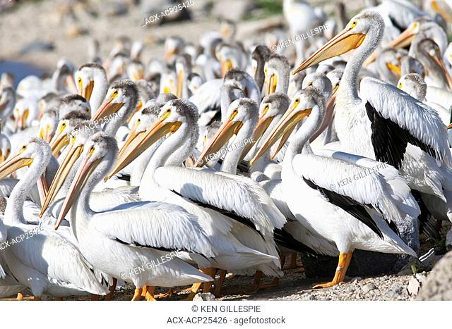 American White Pelicans on bank of the Red River. Lockport, Manitoba, Canada
