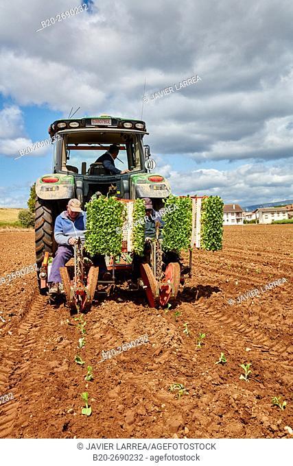 Farmers planting snuff plant, Agricultural field, Ancín, Navarra, Spain, Europe