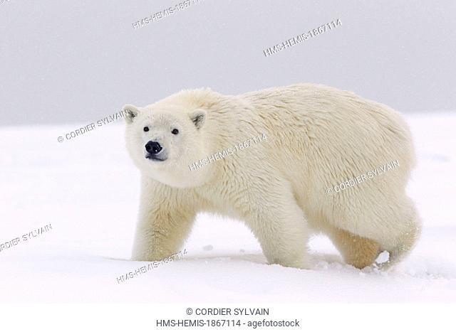 United States, Alaska, Arctic National Wildlife Refuge, Kaktovik, polar bear (Ursus maritimus), young of the year