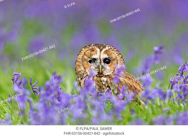 Tawny Owl (Strix aluco) adult, standing on ground amongst Bluebell (Hyacinthoides non-scripta) flowers, Suffolk, England, May (captive)