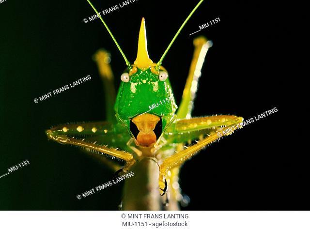 Conehead katydid, Copiphora rhinoceros, La Selva, Costa Rica