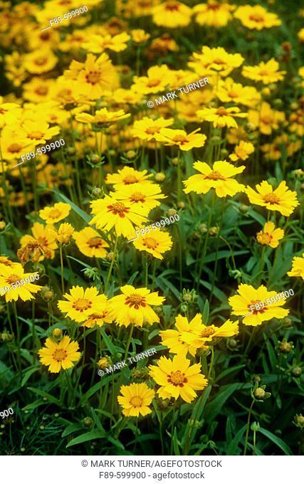 Coreopsis lanceolata 'Sterntaler' blossoms (Coreopsis lanceolata 'Sterntaler'). Astolat, Jane Lew, WV