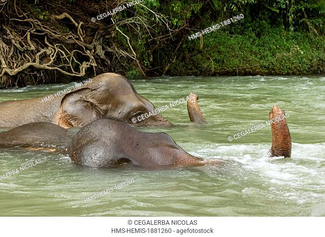 Indonesia, Sumatra Island, Aceh province, Elephants from the Conservation Response Unit for the protection of Sumatran elephants taking a bath