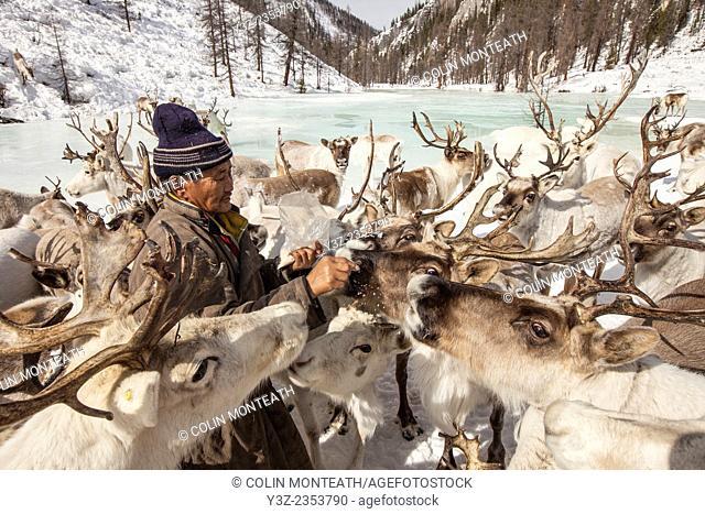 Tsataan reindeer herder gives salt to reindeer after long winter without salt in Hunkher mountains, northern Mongolia