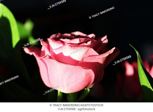 Close up of a single pink rose in full bloom from the side with a black background