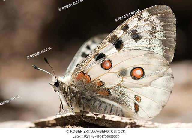 Parnassius apollo is in Southern Europe confined to high mountain areas mostly in the Pyrenees where it was confined at the end of the glacial era  It is a...
