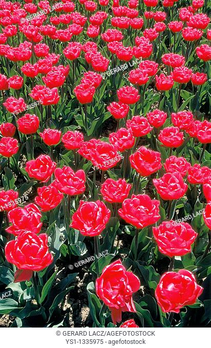 FIELD OR RED TULIPS