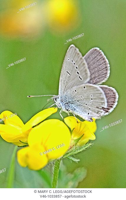 Little Blue, Cupido minimus on birdsfoot trefoil. Lotus pedunculatus