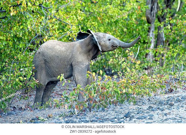 Baby Elephant (Loxodonta africana), Kruger National Park, Transvaal, South Africa