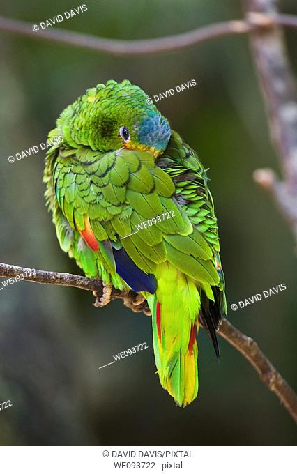 The White-fronted Amazon Parrot Amazona albifrons is native to Central America and southern Mexico, and is most often seen in small flocks of up to 20 birds...