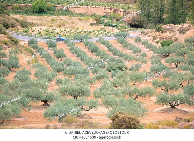 olive groves in Rioja Alavesa, Spain, Europe