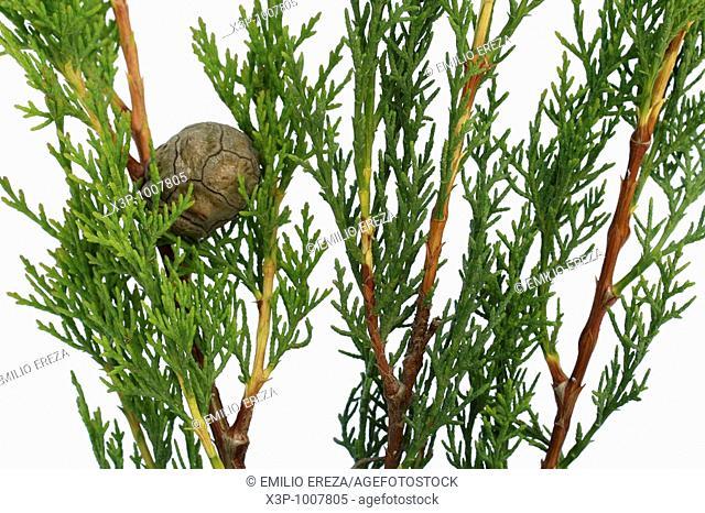 Cypress Cupressus sempervirens