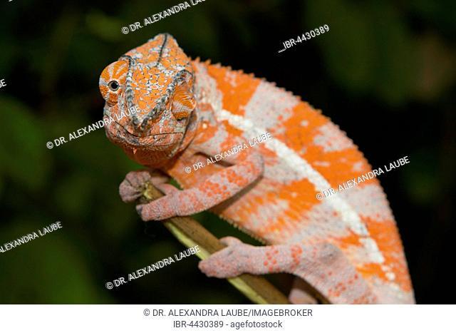 Angel's chameleon (Furcifer angeli) on branch, extremely rare, dry forest, northwestern Madagascar, Madagascar