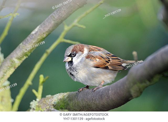 House Sparrow passer domesticus, male perched on branch, Norfolk, UK, December
