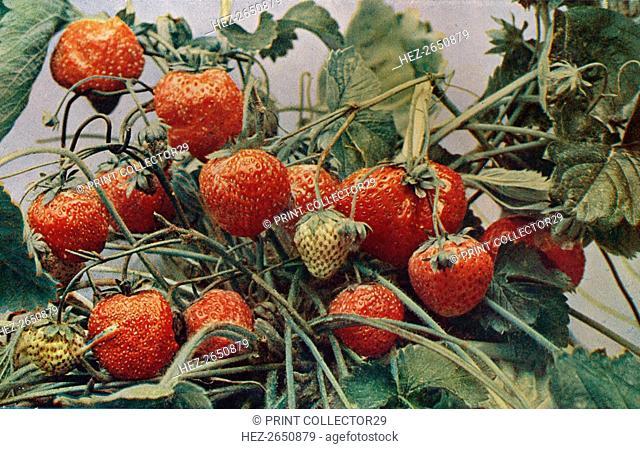 'Strawberries - John Kidd & Co. Ltd.', 1910. Artist: Photochrom Co Ltd of London