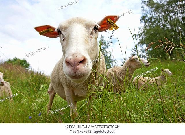 sheeps in field