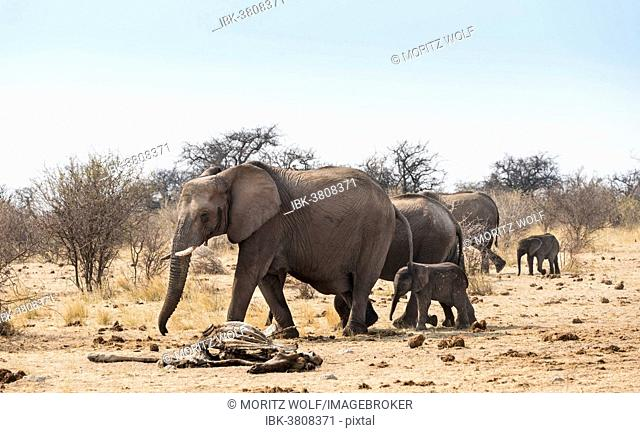 Small herd of African Bush Elephants (Loxodonta africana) marching with a calf past a skeleton of a giraffe, Etosha National Park, Namibia