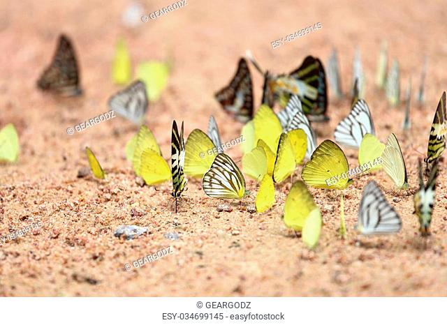 Group of butterfly on the ground (Graphium antiphates itamputi (Butler), Small Grass Yellow, Striped Albatross)