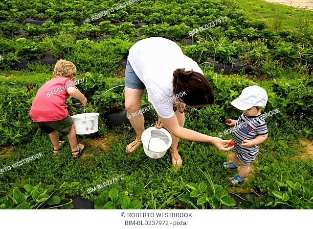 Caucasian mother and sons picking strawberries